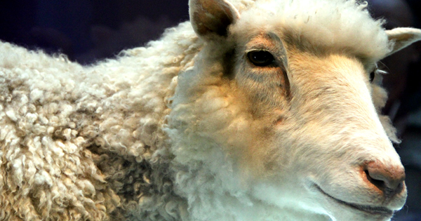 cloning dolly the sheep Dolly the sheep was born on july 5, 1996 and died in february 2003, after she was euthanized followingthe discovery of a progressive lung disease created by the roslin institute and biotechnology company ppl therapeutics near edinburgh, scotland.